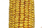 Dominator FAO 390 - Hibrid kukuruza