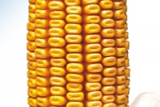 Favor FAO 430 - Hibrid kukuruza