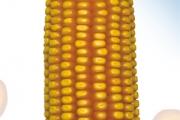 Granor FAO 450 - Hibrid kukuruza