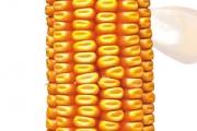 Piktor FAO 450 - Hibrid kukuruza